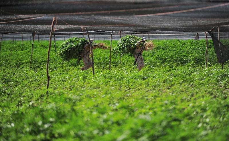 Cultivo de marihuana Asturias