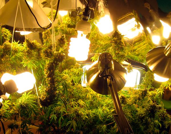 luces-LED-cultivo-marihuana-cannabis-grow-shop-es
