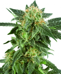 Planta marihuana semilla autofloreciente