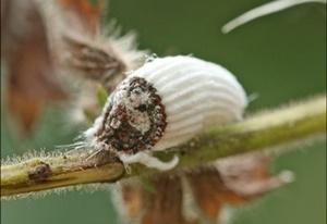 Insecto Cochinilla / Fuente: germigarden.com